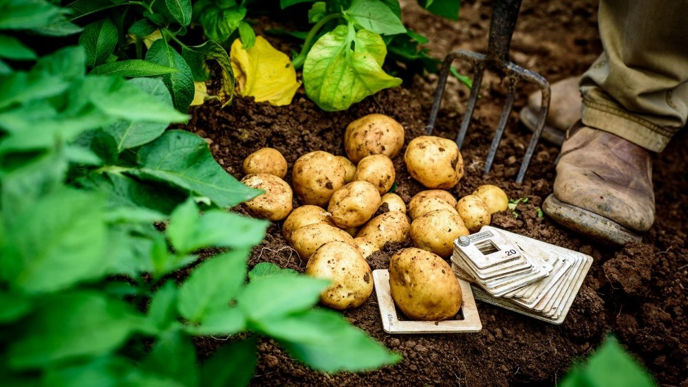 Summer starts here! Cornish New potato season launches in Tesco stores