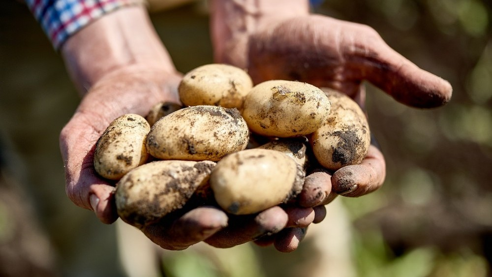 'Can you eat potatoes after they have sprouted?'- And other myths about spuds